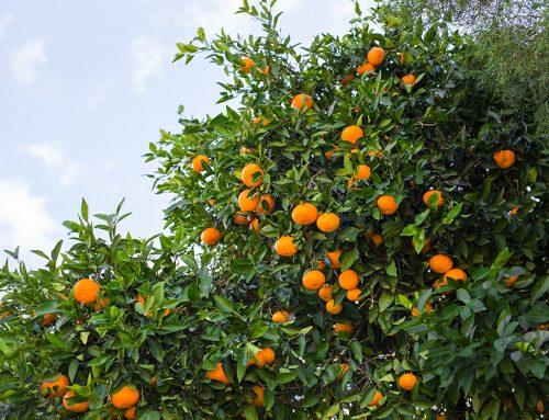 Aumenta la demanda de naranjas de Valencia durante la crisis del coronavirus