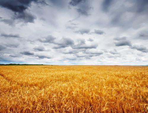 La cosecha de los cereales