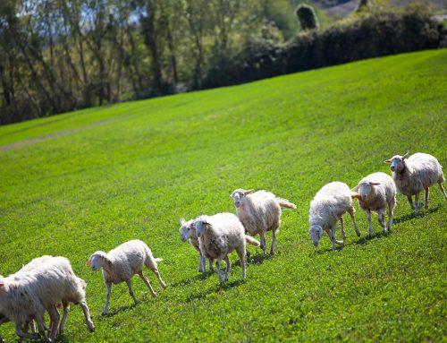 Los ganaderos de ovino y caprino
