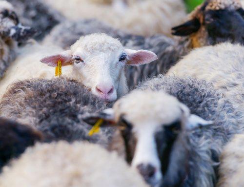 Esquiladores gallegos de ovejas sustituyen a los polacos en los trabajos pendientes tras el coronavirus